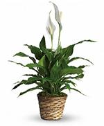 Simply Elegant Spathiphyllum - Standard